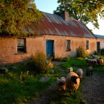 Irish Cottage Photo-Irish sheep photo